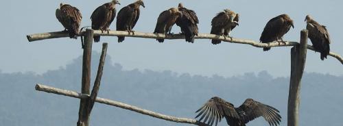 This unique Himachal 'restaurant' saves vulture species