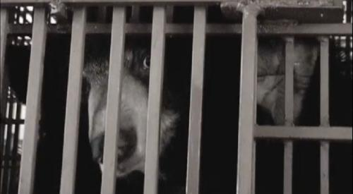 Global Eco Watch: Chinese govt recommends bear bile as cure for COVID-19