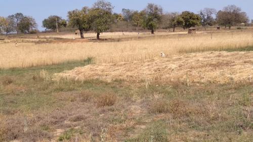 लॉकडाउन ग्रामीण अर्थव्यवस्था:कटाई में कुछ दिनों की देरी बर्बाद कर सकती है फसल