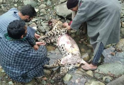 Leopard killed, skinned amid COVID-19 lockdown in Kashmir