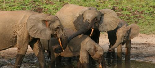 A losing battle to protect forest elephants in Central Africa