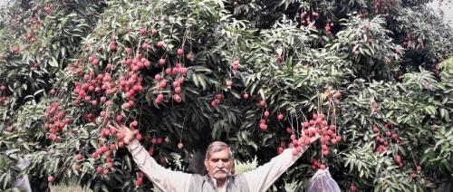 COVID-19 lockdown spells trouble for Bihar's litchi growers