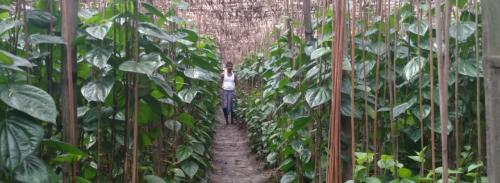 COVID-19: Losses stoke fear among Bengal's betel leaf farmers