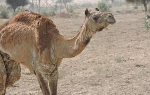 रेगिस्तान के ऊंटों में फैली मेंज बीमारी, लॉकडाउन में नहीं मिल रहा इलाज
