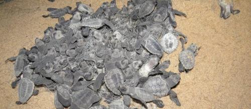 Millions of baby turtles emerged from their shells on April 23, 2020, at the Gahiramatha Wildlife Sanctuary, the world's largest rookery of Olive Ridley turtles. They emerged 40 days after female turtles built nests on the beach and laid eggs in them. Pho