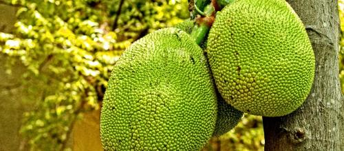 How COVID-19 has jammed South India's jackfruit economy