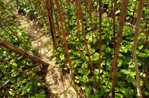 उत्तर प्रदेश: लॉकडाउन से पान किसान परेशान,खेत में सड़ रही फसल