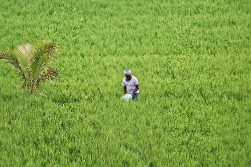 पानी बचाने के लिए हरियाणा के 10 जिलों में धान की खेती पर पाबंदी
