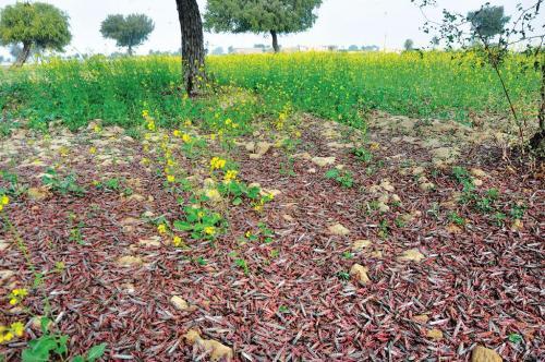 किसानों की नई मुसीबत: लौट आए टिड्डी दल, अब वनस्पति और बाजरे को नुकसान