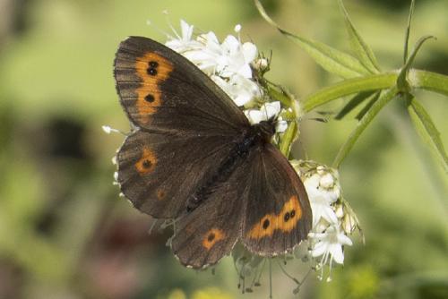 जलवायु परिवर्तन से अल्पाइन तितलियों की प्रजातियों को हो सकता है नुकसान