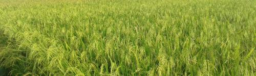 Bihar procures most paddy in 6 yrs, But will that help
