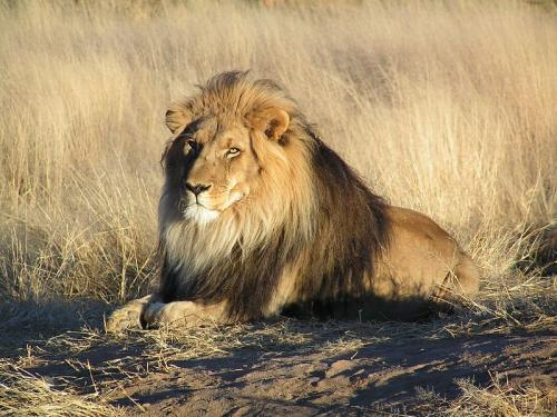 विलुप्ति से बचाएगा शेरों का नया आनुवंशिक अध्ययन