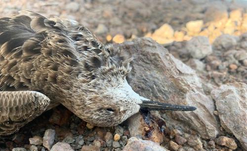 अब सांभर के पास नलियासर झील में मृत मिले प्रवासी पक्षी, बोटुलिज्म के लक्षण