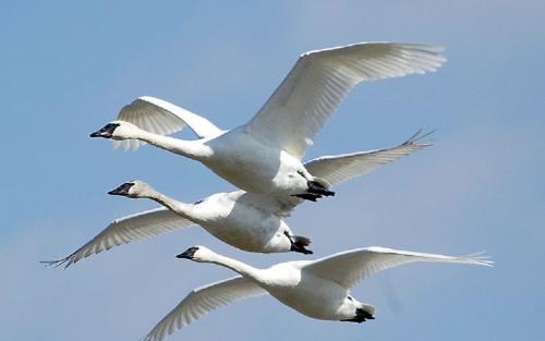 अवैध शिकार के कारण खतरे में प्रवासी पक्षी: शोध