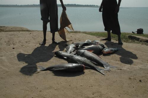 कोरोना और लॉकडाउन ने मछली उत्पादन को पहुंचाया नुकसान