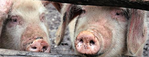COVID-19: Possible link between virus, intensive pig farming, says study