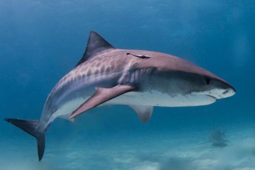 चीन-हांगकांग की शार्क के पंखों में मिला 6 से 10 गुना अधिक पारा