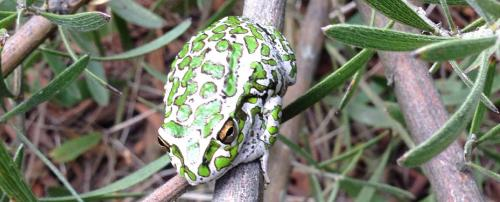 Global Eco Watch: Carnivorous frog enters South Australia, could wreak havoc