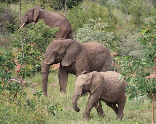 तीन दिन में तीन हथिनियों की मौत कहीं हाथी-मानव संघर्ष का नतीजा तो नहीं?