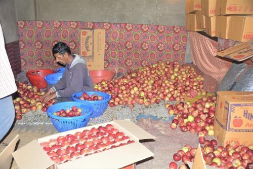 सेब कारोबार को बचाने के लिए नेपाल से मजदूर लाएगी हिमाचल सरकार