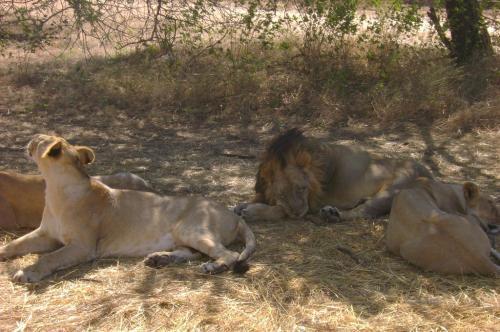 गुजरात के गिर में 5 माह में 92 शेरों की मौत