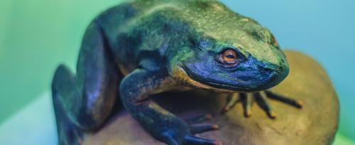 World Rainforest Day: Goliath frogs need urgent conservation measures