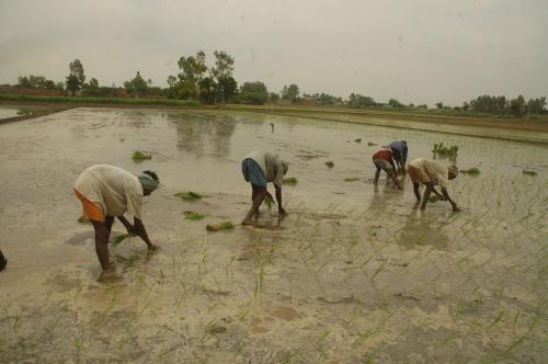 हरियाणा: 15 से 20 फीसदी बढ़ सकती है धान की लागत, किसान निराश