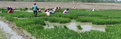 Paddy puzzle: Why Haryana farmers, govt fight over the water-guzzling crop