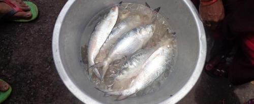 Hilsa vanishing from poor and middle-class people's menu in Odisha