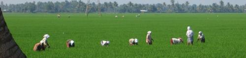 First real-time digital platform to monitor rice fields can bolster food security