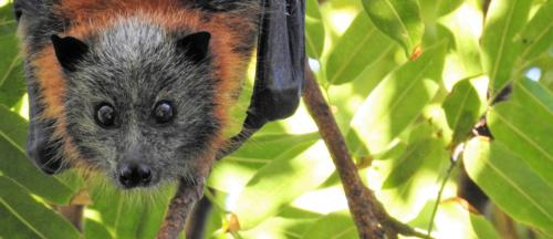 COVID-19: Bats' immune system, longevity offer clues for treatment, says study