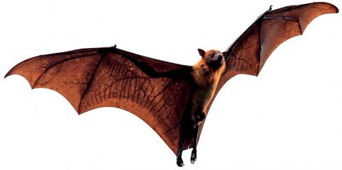 Winged wonders: We should not resent bats, because we need them