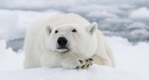 Global warming, sea-ice loss intensify polar bear decline