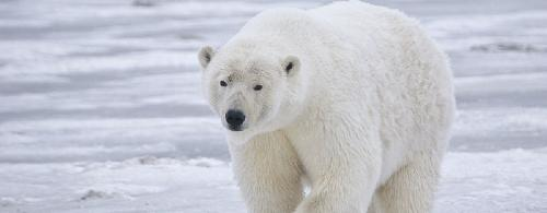 Global Eco Watch: Polar bears could become extinct by 2100, says study