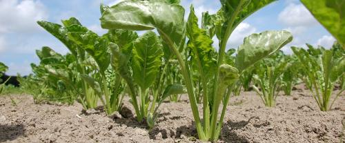 Can sugar beet make sugar production in India sustainable