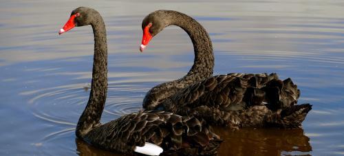 Scientists map black swan genome to better understand immune response