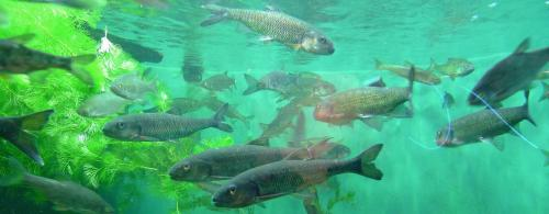 Global Eco Watch: Atlantic Salmon returning to Maine river after dam removals