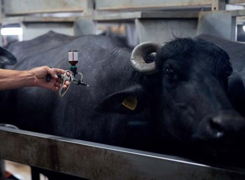 दूध के साथ एंटीबायोटिक पीता है इंडिया?