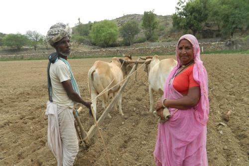 हल से जुताई की ओर लौटते राजस्थान के किसान