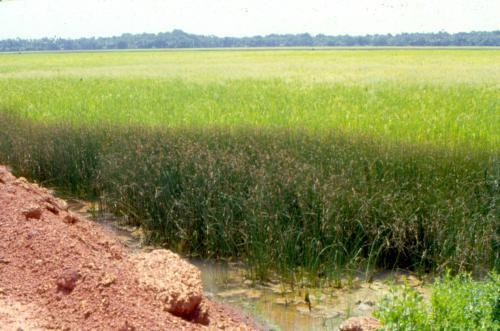 चावल निर्यात मतलब पानी का निर्यात, नई प्रजातियां पानी की खपत को कर सकती हैं कम
