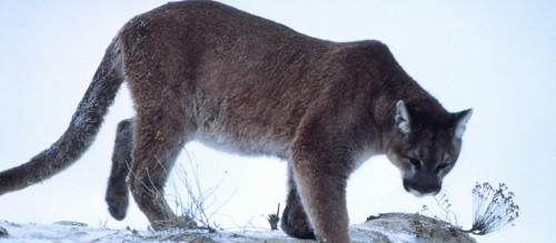 Pumas adapt behaviour to save energy for mountain survival: Study