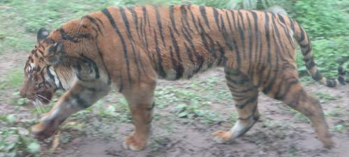 'Hong Kong's lost tigers show us a species once gone, cannot return'