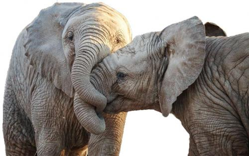 नए युग में धरती: कुछ दशकों में खत्म हो जाएंगे अफ्रीकी हाथी