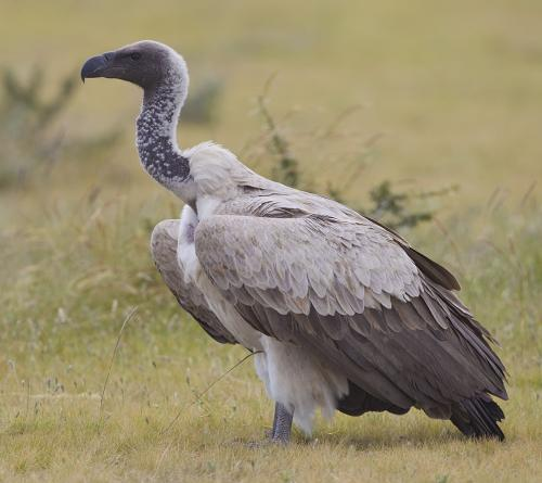 Conservation centres in 5 states among host of ideas to protect vultures