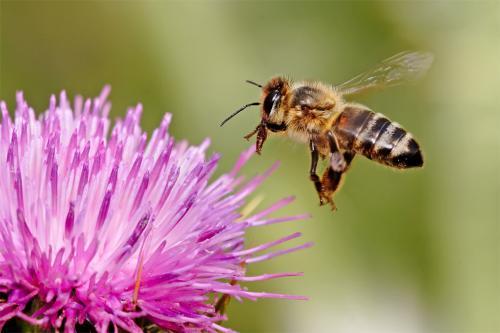 शोधकर्ताओं ने बनाया दुनिया भर में पाई जाने वाली मधुमक्खियों की प्रजातियों का पहला नक्शा