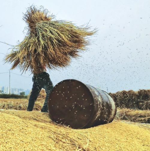 बासमती पर भारत के बाहर और भीतर बढ़ी तकरार, लेकिन किसान हताश