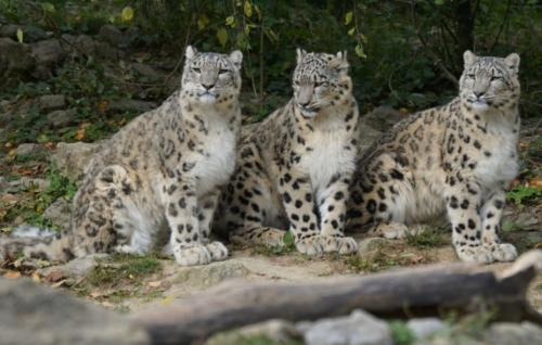 'One snow leopard gets killed every day'