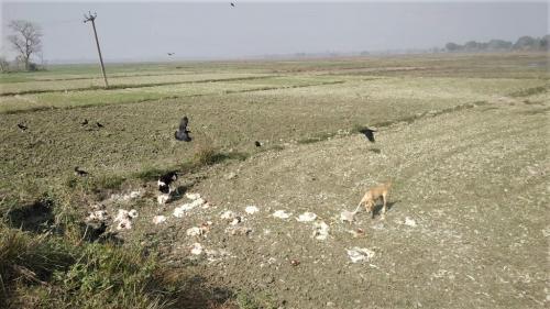 बर्ड फ्लू: बिहार में खेतों में मिली मरी हुई मुर्गियों, लोगों में दहशत