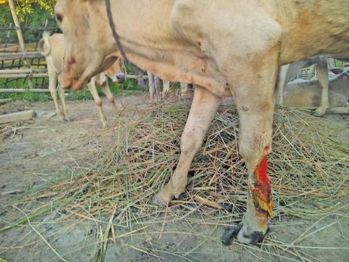 भारत के दुधारू पशुओं को शिकार बना रही है एक घातक महामारी