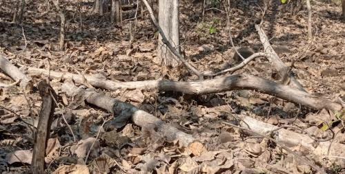 Villagers allege illegal tree felling in Melghat; forest dept denies claims